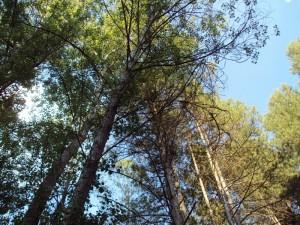los inmensos pinos
